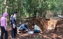 138 con heo chết bị lén 'đắp mộ' dài 20m trong rừng cao su