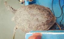 Thả rùa quý hiếm nặng 120kg về biển