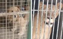 Sở thú Trung Quốc biến chó cảnh thành sư tử châu Phi để phục vụ du khách