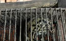 Mèo rừng cái quý hiếm chui vào chuồng bắt gà bị mắc kẹt, chủ tóm nhẹ nhàng