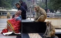 Dắt khỉ đi cướp ở thủ đô, 2 người đàn ông Ấn Độ bị bắt chờ ra tòa