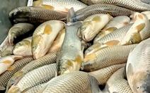 Cá lại chết hàng loạt trên sông Mã, hơn 14 tấn chỉ trong ngày 14-4