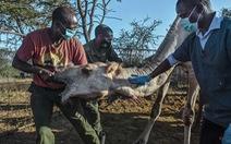 Lạc đà cũng được xét nghiệm thường xuyên phòng đại dịch mới bùng phát