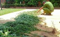 Người phụ nữ trồng cần sa trong vườn để chữa bệnh mất ngủ