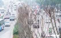 Cây phong lá đỏ ở Hà Nội không phù hợp nên chết khô là tất yếu