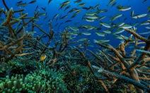 Gia tăng cuộc 'di tản' của các loài sinh vật biển vùng xích đạo