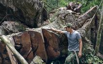 'Chảy máu' rừng đặc dụng Cham Chu: Tàn sát cổ thụ để lấy nu gỗ