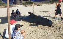 Cá heo dài 3m, nặng 300kg hai lần trôi dạt vào bờ biển Quảng Nam
