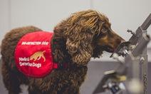 Anh: Chó đánh hơi COVID-19 với độ chính xác cao