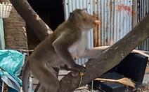 Bị trúng thuốc mê, khỉ đuôi dài chạy 'mất tăm' rồi lại tiếp tục 'trộm vặt' ở quận 8