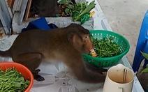 Khỉ đuôi dài 'quậy xám hồn' khu dân cư quận 8, bốc hủ tiếu, xé thịt gà, 'ăn cắp' trứng...