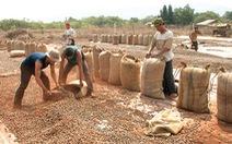 'Choáng' với hạt điều Campuchia