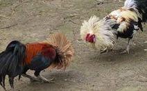 Phá trường gà lớn ở Cần Giờ, bắt quả tang 130 người, thu hơn 688 triệu