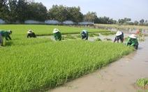 Ông Hồ Quang Cua: Muốn nhượng bản quyền gạo ST25 cho Nhà nước với giá 'xứng đáng'