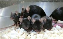 168 chuột con 'không gian' sinh ra từ tinh trùng đông lạnh trên ISS