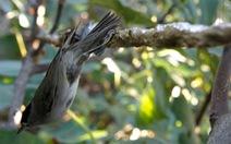 Tòa án Tối cao Pháp cấm hành vi bẫy chim bằng keo dính