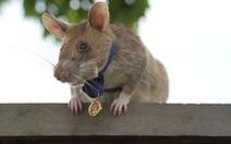 'Anh hùng chuột' dò mìn ở Campuchia nghỉ hưu