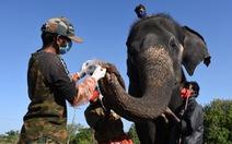 Ấn Độ: nơi xét nghiệm 28 con voi, nơi xét nghiệm 21 con hổ
