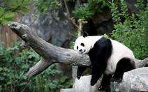 Trung Quốc báo tin vui, gấu trúc không còn là loài nguy cấp trong tự nhiên