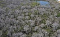 Nhiều diện tích rừng ngập mặn chết không rõ nguyên nhân
