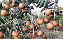 Đề nghị hỗ trợ 'giải cứu' 1.300 tấn nhãn xuồng cơm vàng, giá 15.000 đồng/kg