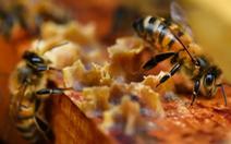 Pháp cảnh báo 'Mật ong Hắc Mã', kêu gọi người dân tiêu hủy