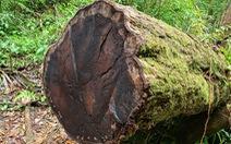 Gỗ quý bị triệt hạ trong rừng nguyên sinh ở Lâm Đồng