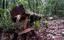Khởi tố 14 'lâm tặc' triệt hạ gỗ quý rừng nguyên sinh Lâm Đồng