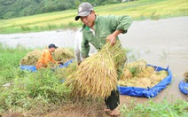 Người dân Đắk Lắk chấp nhận gặt lúa non để chạy lũ