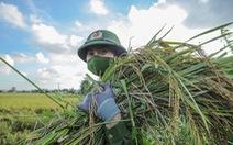 Những người lính trẻ 'đội nắng', vượt màn đêm gặt lúa cho bà con vùng cách ly y tế