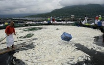 Philippines: 800 tấn cá chết