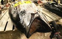 Cá ngừ có nguy cơ tuyệt chủng