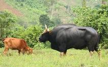 Bò tót lại thăm bò nhà