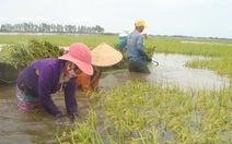 Nông dân thu hoạch lúa chạy lũ