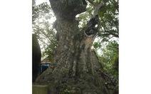 5 cây thị 700 tuổi được công nhận là cây di sản Việt Nam