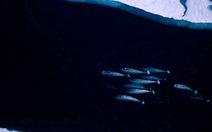 Theo dõi loài kỳ lân biển ở Bắc cực