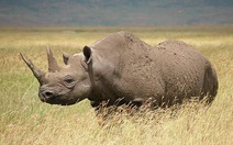 Thêm một loài tê giác tuyệt chủng