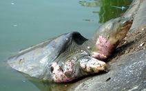 Rùa hồ Gươm... tắm nắng