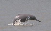 3 khu bảo tồn mới cho 2 loài cá heo nước ngọt