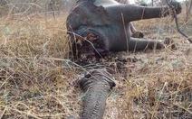 Cameroon: hơn 200 con voi bị giết lấy ngà
