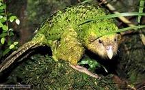 Vẹt Kakapo - loài vật lãnh cảm nhất thế giới