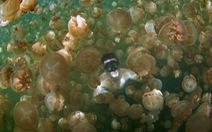 Bơi giữa hàng triệu con sứa