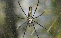 Dùng tơ nhện làm dây đàn vĩ cầm