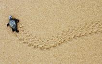 Hành trình di trú của rùa biển