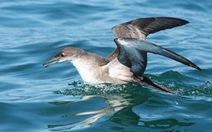 """""""Dân số"""" chim biển giảm báo động"""