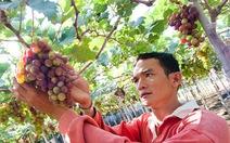 Nho Ninh Thuận có chỉ dẫn địa lý