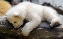 """Em gấu Knut trở thành """"sao"""""""