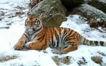 Nga xây công viên quốc gia bảo vệ hổ Amur