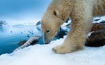 """Gấu trắng Bắc cực """"già"""" hơn ta tưởng"""