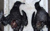 Chim chết hàng loạt tại Chile